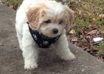 5 Best Dog Harnesses for Cavachons (Reviews Updated 2021)