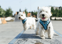 5 Best Dog Harnesses for Chorkies (Reviews Updated 2021)