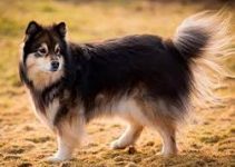 5 Best Dog Harnesses for Finnish Lapphunds (Reviews Updated 2021)