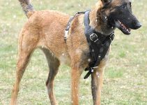 5 Best Dog Harnesses for Belgian Malinois (Reviews Updated 2021)
