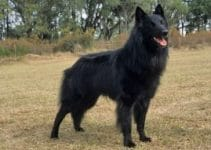 Best Dog Shampoo For Belgian Sheepdogs