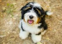5 Best Dog Shampoos for Boxerdoodles (Reviews Updated 2021)