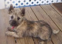 Best Dog Shampoo For Cairn Terriers