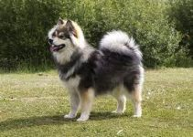 5 Best Dog Shampoos for Finnish Lapphunds (Reviews Updated 2021)