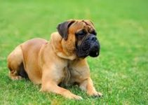 Best Dog Shampoo For Mastiffs