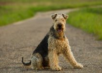 Best Dog Shampoos For Airedale Terriers