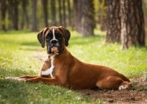 Puppy Dog Breed German Boxer Lies