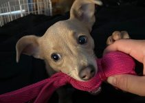 Best Dog Toys For Chiweenies