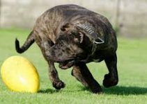 Best Dog Toys For Mastiffs
