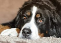 Best Puppy Food For Bernese Mountain Dogs