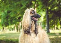 Best Puppy Food For Afghan Hounds