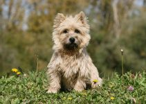 Best Puppy Food For Cairn Terriers