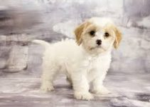 5 Best Puppy Foods for Cavachons (Reviews Updated 2021)