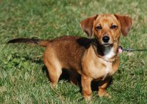5 Best Puppy Foods for Chiweenies (Reviews Updated 2021)
