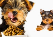 5 Best Puppy Foods for Chorkies (Reviews Updated 2021)