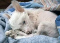 Best Puppy Foods For Chinese Crested Dogs