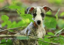 Best Puppy Foods For Whippets