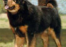 5 Best Dog Shampoos for Tibetan Mastiffs (Reviews Updated 2021)