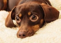 Best Dog Muzzle for Chiweenies
