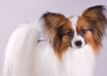 5 BestDog Beds for Papillons (Reviews Updated 2021)
