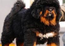 Dog Bed For Tibetan Mastiffs