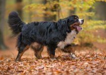 5 Best Dog Brushes for Bernese Mountain Dogs (Reviews Updated 2021)