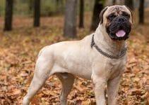 5 Best Dog Brushes for Bullmastiffs (Reviews Updated 2021)