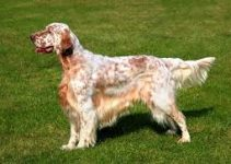 Dog Brush For English Setters