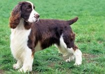 5 Best Dog Brushes for English Springer Spaniels (Reviews Updated 2021)