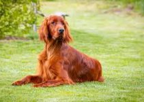 Dog Brush For Irish Setter