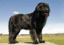 Dog Brush For Newfoundlands