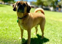 5 Best Dog Brushes for Puggles (Reviews Updated 2021)
