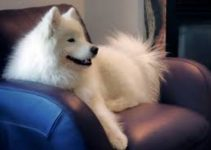 5 Best Dog Brushes for Samoyeds (Reviews Updated 2021)