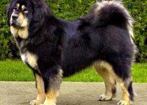 Dog Brush For Tibetan Mastiffs
