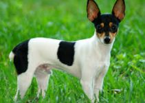 5 Best Dog Brushes for Toy Fox Terriers (Reviews Updated 2021)