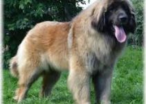 5 Best Dog Brushes for Leonbergers (Reviews Updated 2021)