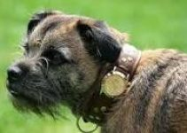 5 Best Dog Collars for Border Terriers (Reviews Updated 2021)