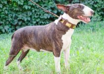 Dog Collar For Bull Terriers