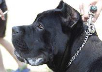 Dog Collar For Cane Corso