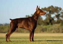 5 BestDog Collars for German Pinschers (Reviews Updated 2021)