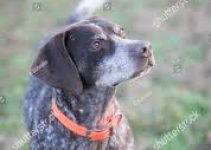5 Best Dog Collars for German Shorthaired Pointers (Reviews Updated 2021)