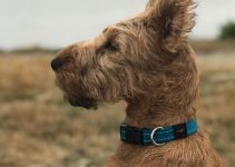 5 Best Dog Collars for Irish Terriers (Reviews Updated 2021)