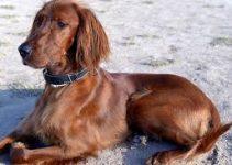 Dog Collar For Irish Setter
