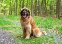 5 Best Dog Harnesses for Leonbergers (Reviews Updated 2021)