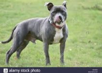 5 Best Dog Collars for Staffordshire Bull Terriers (Reviews Updated 2021)