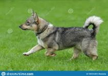 5 Best Dog Collars for Swedish Vallhunds (Reviews Updated 2021)