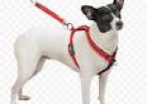 Dog Collar For Toy Fox Terriers