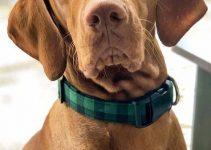 5 Best Dog Collars for Vizslas (Reviews Updated 2021)