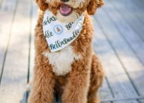 5 Best Dog Collars for Whoodles (Reviews Updated 2021)