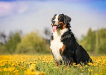 Dog Crate For Bernese Mountain Dogs